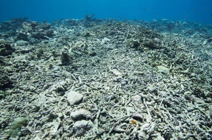 Récifs coralliens tués pendant le blanchissement massif des coraux, lié au changement climatique. Le blanchiment des colonies coralliennes est causé par la hausse de la température de la mer.