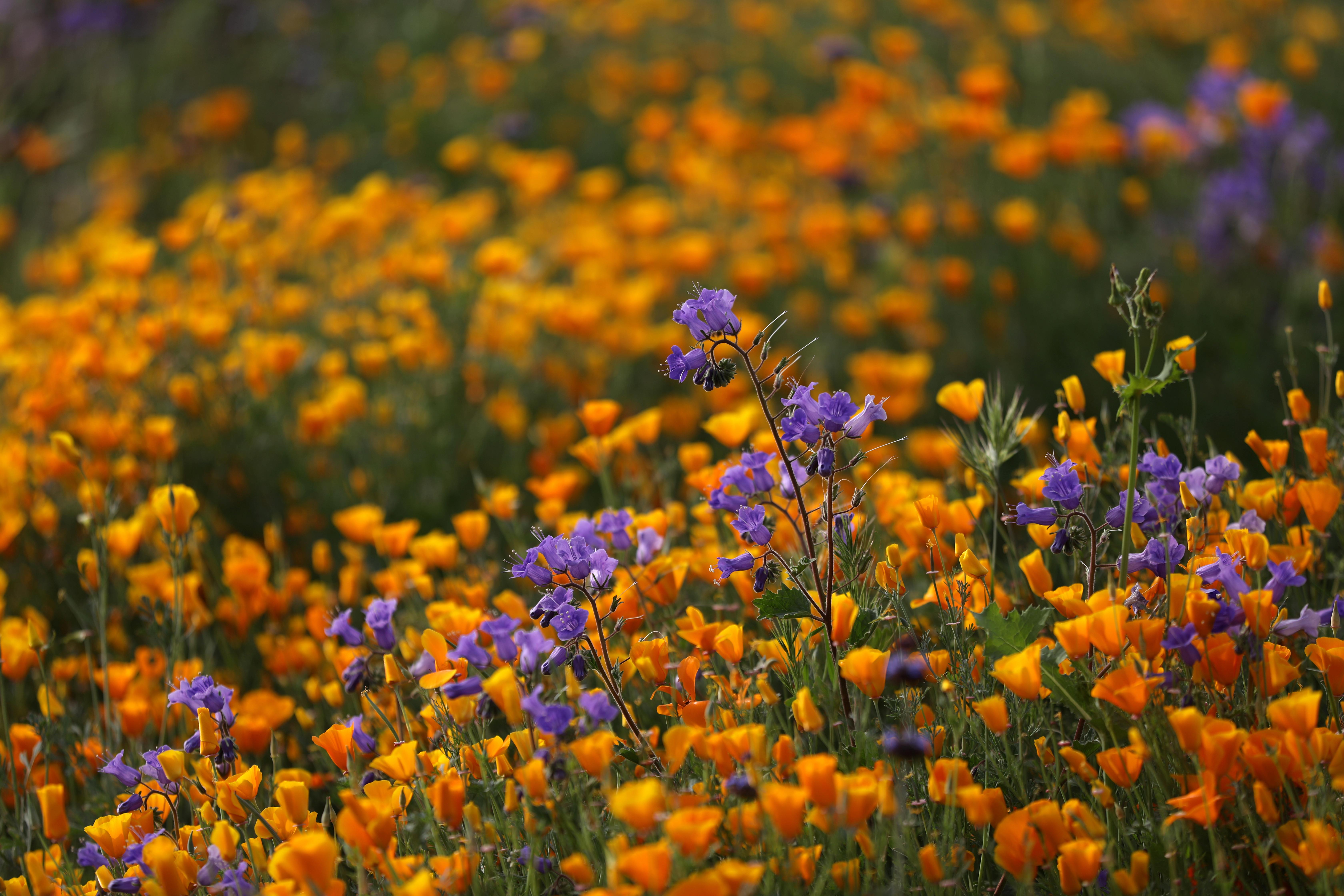 Flori de primăvară imense de flori sălbatice cauzate de iarna umedă se observă în lacul Elsinore, California