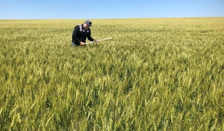 У США есть сравнительное преимущество в пшенице частично из-за больших и эффективных полей, подобных тем, что в Северной Дакоте.