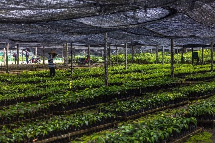 Imagen de plántulas de árboles de la selva que crecen en un vivero antes de ser plantadas en el bosque restaurado