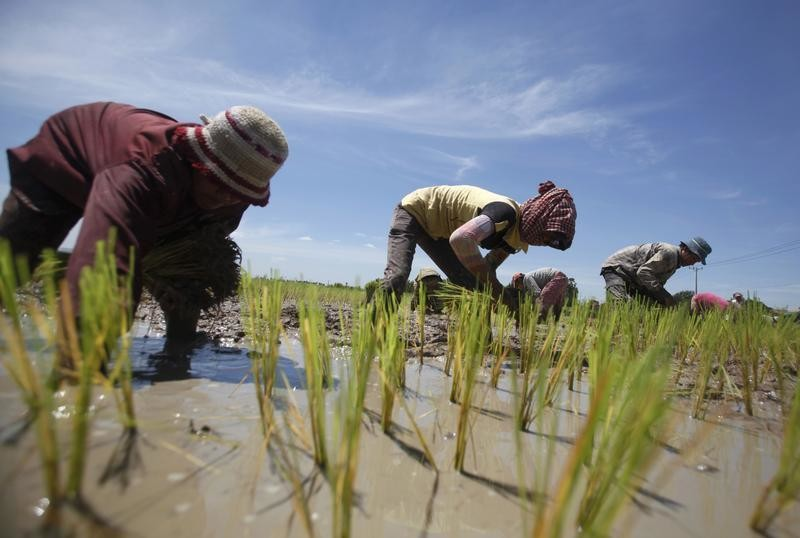 People plant rice on a paddy field on the outside Phnom Penh August 10, 2014.