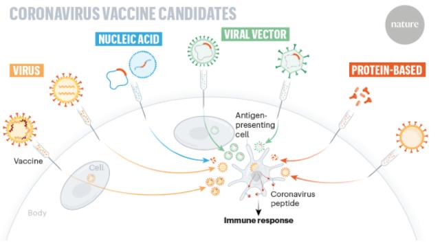 Coronavirus vaccine candidates