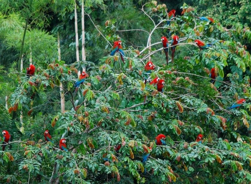 Des Aras photographiés dans la forêt amazonienne au Pérou.