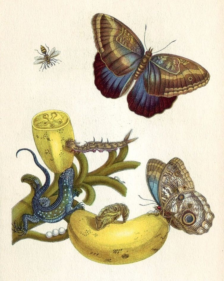 Maria Sibylla Merian, illuminated copper-engraving from Metamorphosis insectorum Surinamensium, Plate XXIII.Solanum mammosum1705.