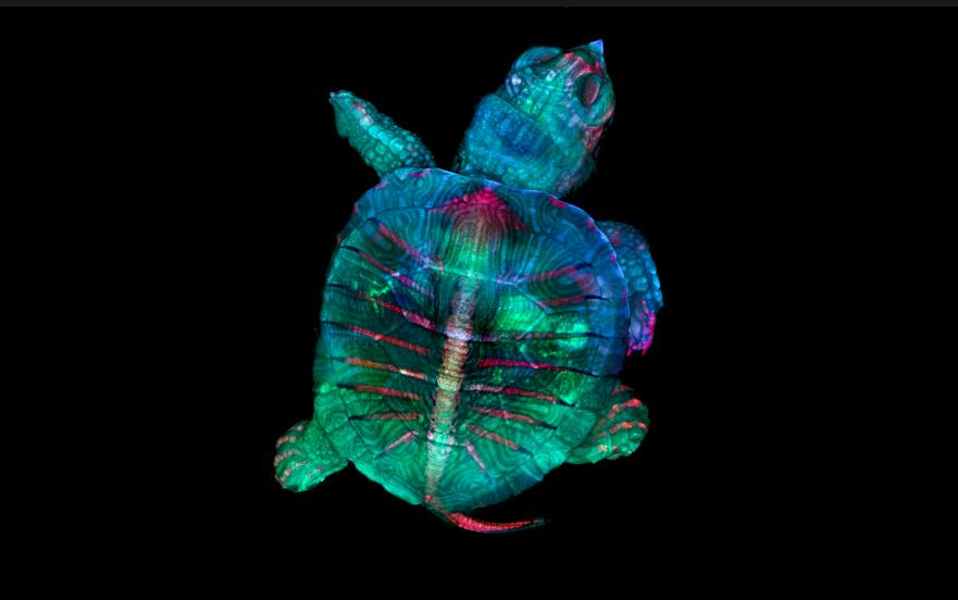Fluorescent turtle embryo, Stereomicroscopy, Fluorescence