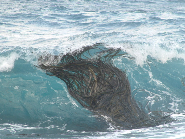 Southern bull-kelp grows abundantly in the sub-Antarctic but can drift long distances at sea.