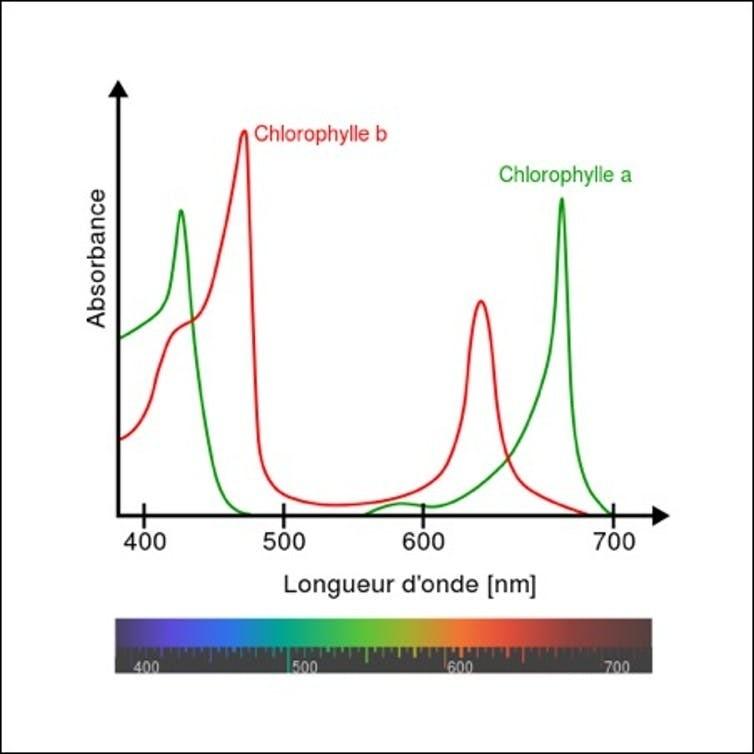 Spectre d'absorption de la chlorophylle. La chlorophylle absorbe principalement les longueurs d'onde des couleurs rouge et bleu et renvoie les autres, ce qui lui confère sa couleur verte.
