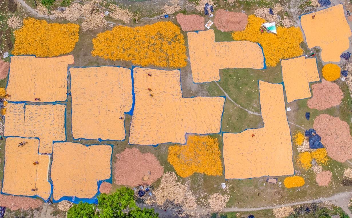 a sky view of maize fields in Lalmonirhat, northern Bangladesh