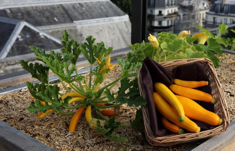 Orgeval yellow courgettes from the vegetable kitchen garden installed on the roof of La Mutualite building in Paris July 23, 2013. This rooftop urban vegetable patch is managed by Sibylle for the French Chef  Eric Castandet to supply fresh seasonal produce to the restaurant 'Terroir Parisien' on the ground floor of the building. Currently emerging in French cities, green spaces have sprouted on the flat roofs of towns all over the world as part of the growing trend for urban agriculture in line with increased concern about the origins of our food. REUTERS/Philippe Wojazer  (FRANCE - Tags: ENVIRONMENT) - PM1E97N17HP01