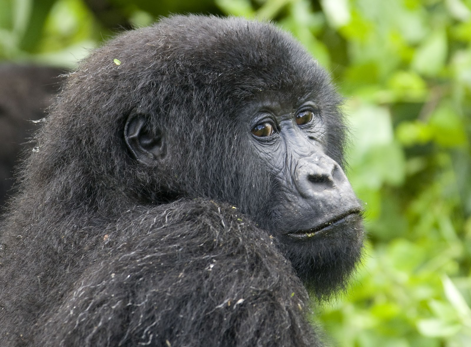 A mountain gorilla sits in the forest on the slopes of Mount Mikeno in the Virunga National Park, Eastern DRC December 12, 2008. REUTERS/Peter Andrews (DEMOCRATIC REPUBLIC OF CONGO) - GM1E4CD0A2L01