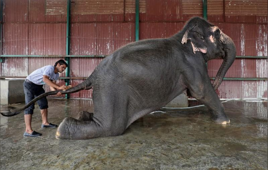 A handler bathes Coconut, a female elephant, at the Wildlife SOS Elephant Conservation and Care Center run by a non-governmental organisation in the northern town of Mathura, India, November 17, 2018.