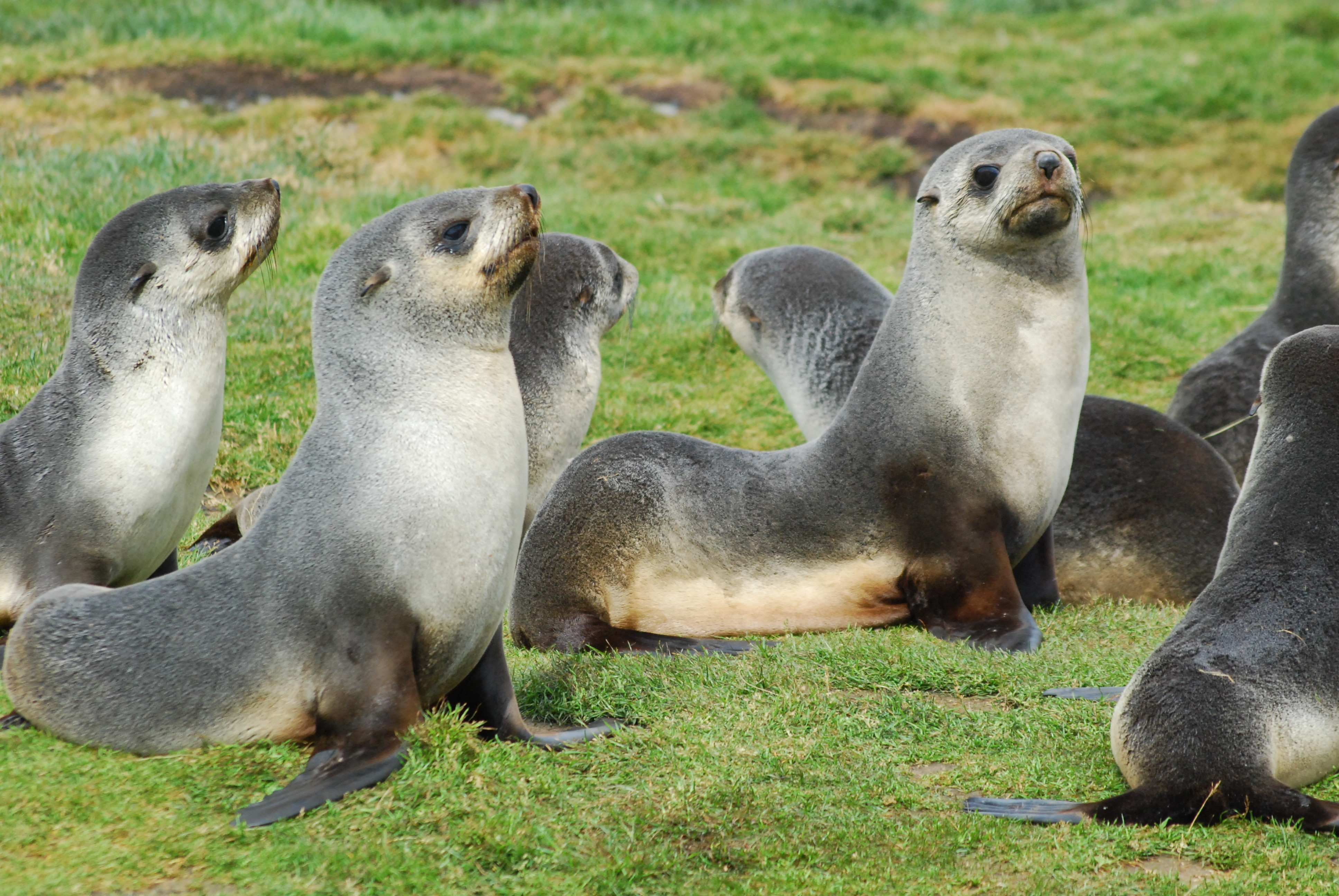 Antarctic fur seals. The species was nearly exterminated by hunting for the fur trade but recovery began in South Georgia in the 1930s. Now the islands host > 4 million, more than 95% of the global population.