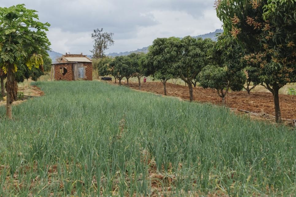 In Kenya's Makueni County, farmers are growing trees next to their fields in agroforestry systems.