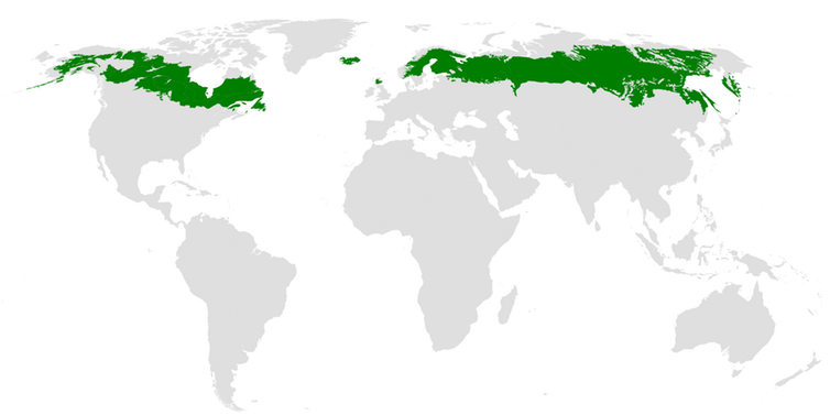 Boreal forests stretch across the Northern Hemisphere from Alaska to Siberia.