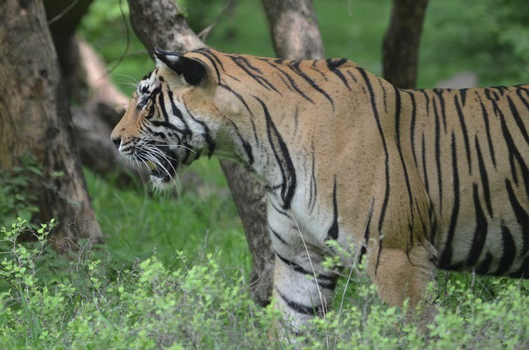 Good news for conservationists: India's tiger population is