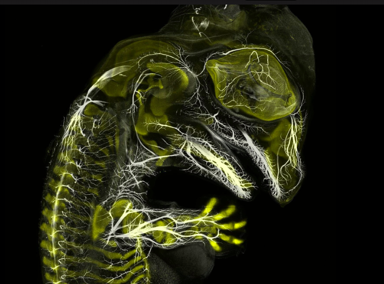 Alligator embryo developing nerves and skeleton