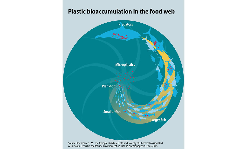 Plastic bioaccumulation in the food web.