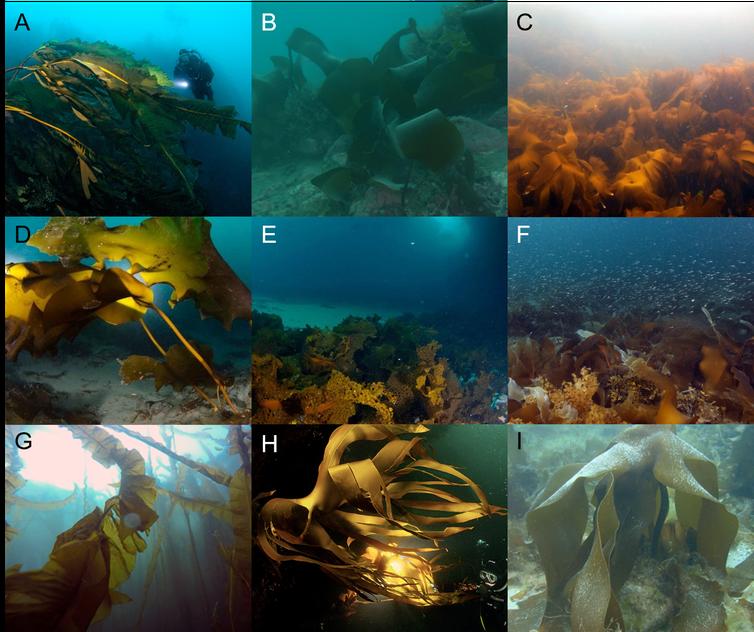 Photographs show examples of Arctic kelp forests: (A) Alaria esculenta in Greenland, (B) Laminaria solidungula in the Beaufort Sea, Alaska (Ken Dunton), (C) Laminaria hyperborea in Malangen fjord, Norway (Karen Filbee-Dexter), (D) Saccharina latissima on sediment in Russia, (E) Agarum clathratum and (F) mixed Saccharina latissima, S. longicruris, Alaria esculenta, Laminaria solidungula in Baffin Island, Canada (Frithjof Küpper), (G) Eularia fistulosa Aleutian Islands, Alaska (Pike Spector), (H) Laminaria hyperborea in Murmansk, Russia (Dalnie Zelentsy), (I) Laminaria digitata in Svalbard, Norway (Max Schwanitz)