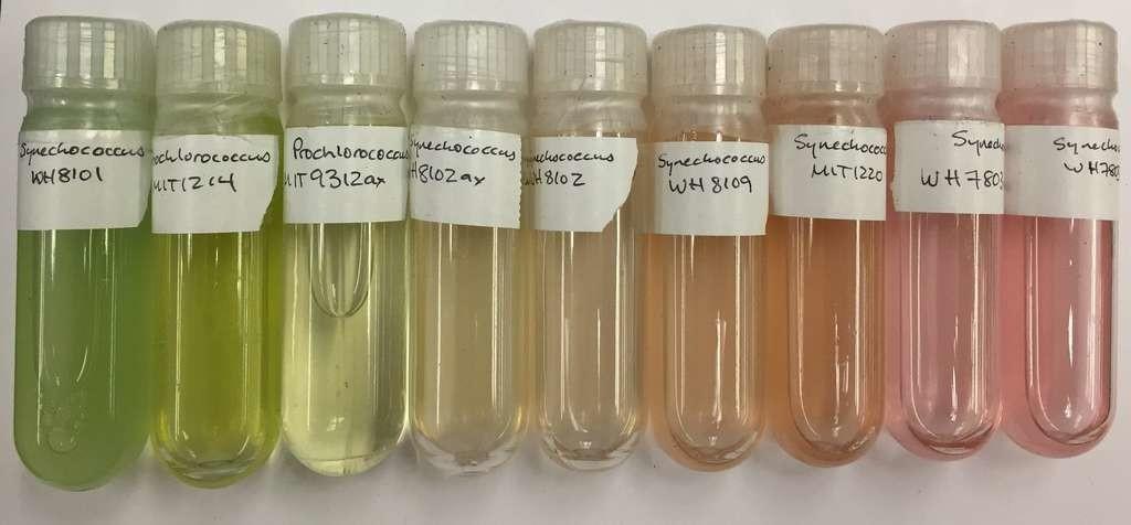 Des cultures de Prochlorococcus et Synechococcus, des cyanobactéries sévèrement affectées par la pollution plastique.