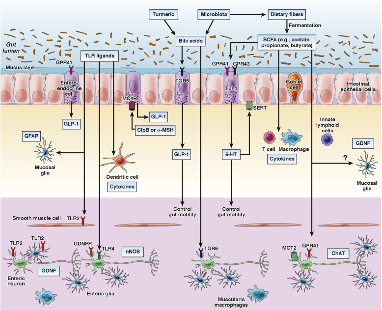 a digram showing how the microbiota and diet control the activity of multiple cell types in the gut wall,