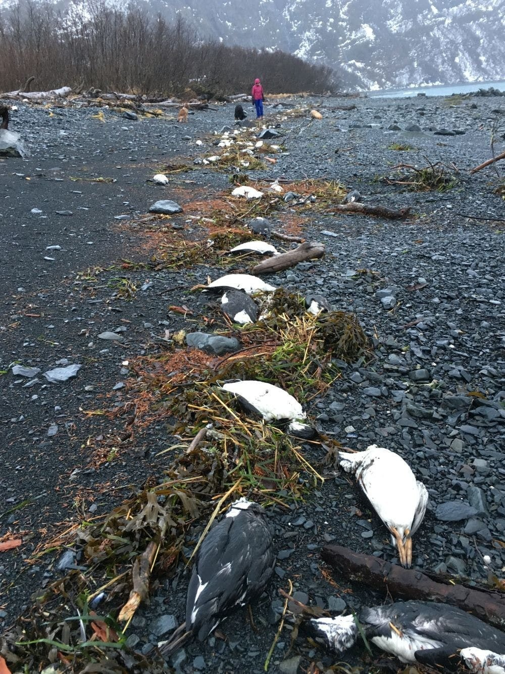 On January 1 and 2 2016, 6,540 common guillemot carcasses were found washed ashore near Whitter, Alaska.
