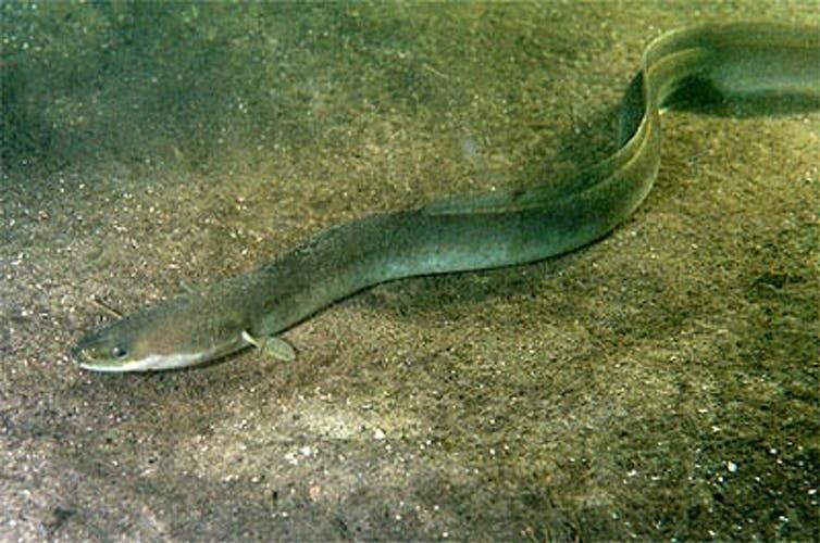 A large, but not monstrous, European eel.