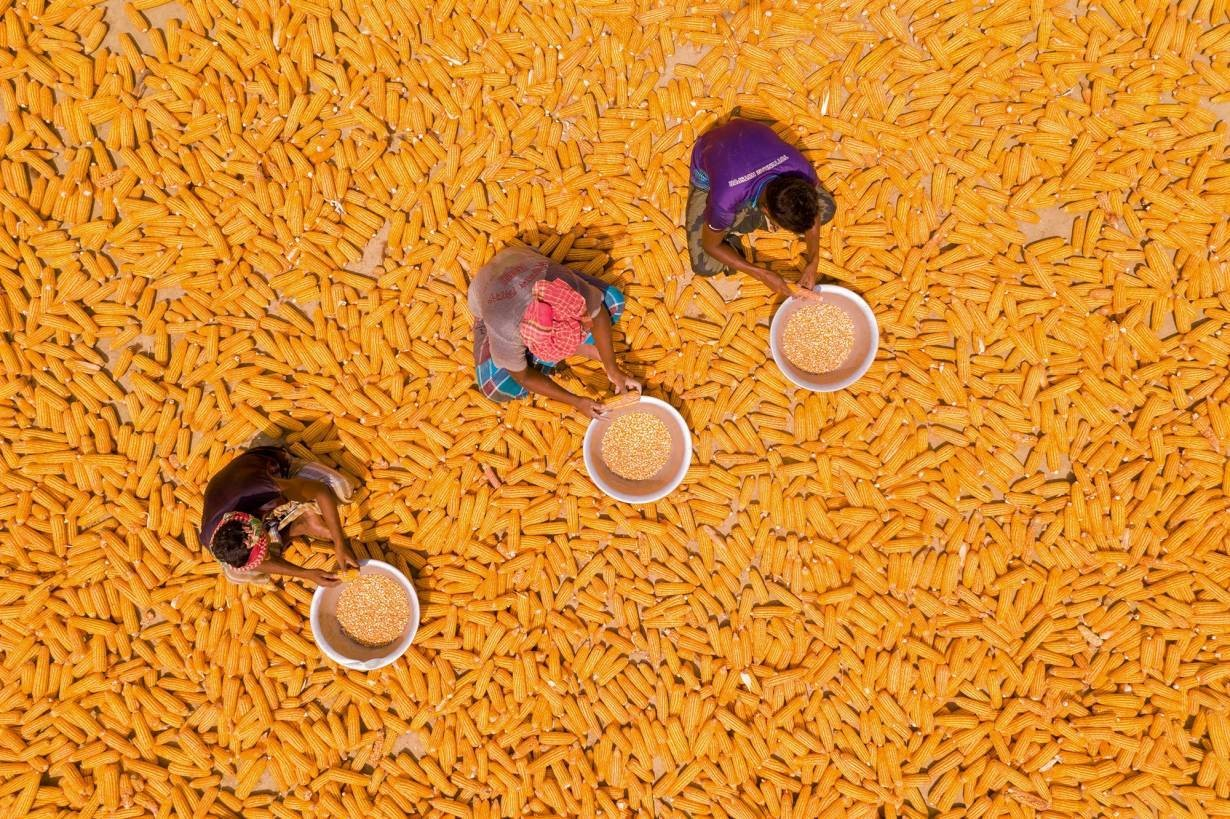 In a photo taken by drone, workers separate corn from the plant in Lalmonirhat, northern Bangladesh