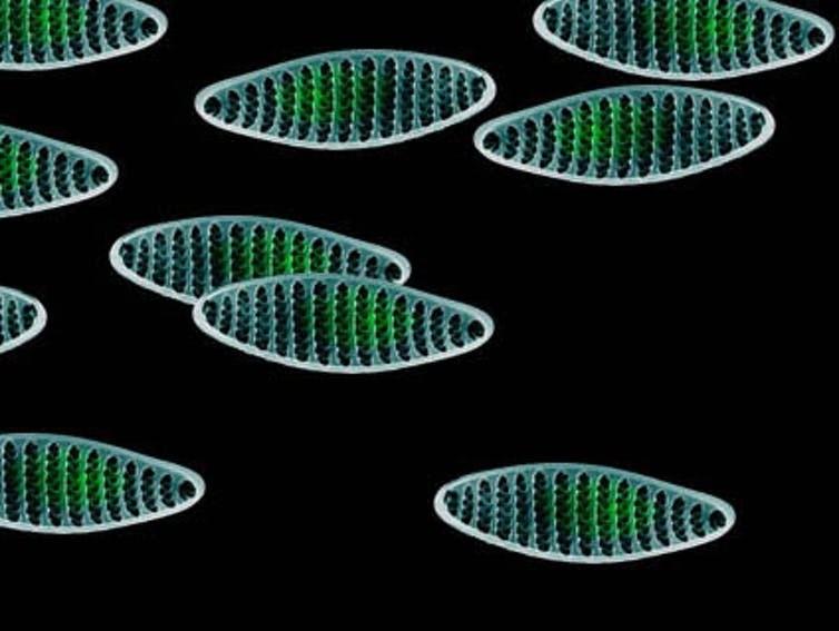 Ci-dessus, trois diatomées appartenant au phytoplancton marin : Asterionellopsis glacialis, Odontella aurita et Fragilariopsis kerguelensis. Leurs couleurs représentent des informations-clés pour les chercheurs.