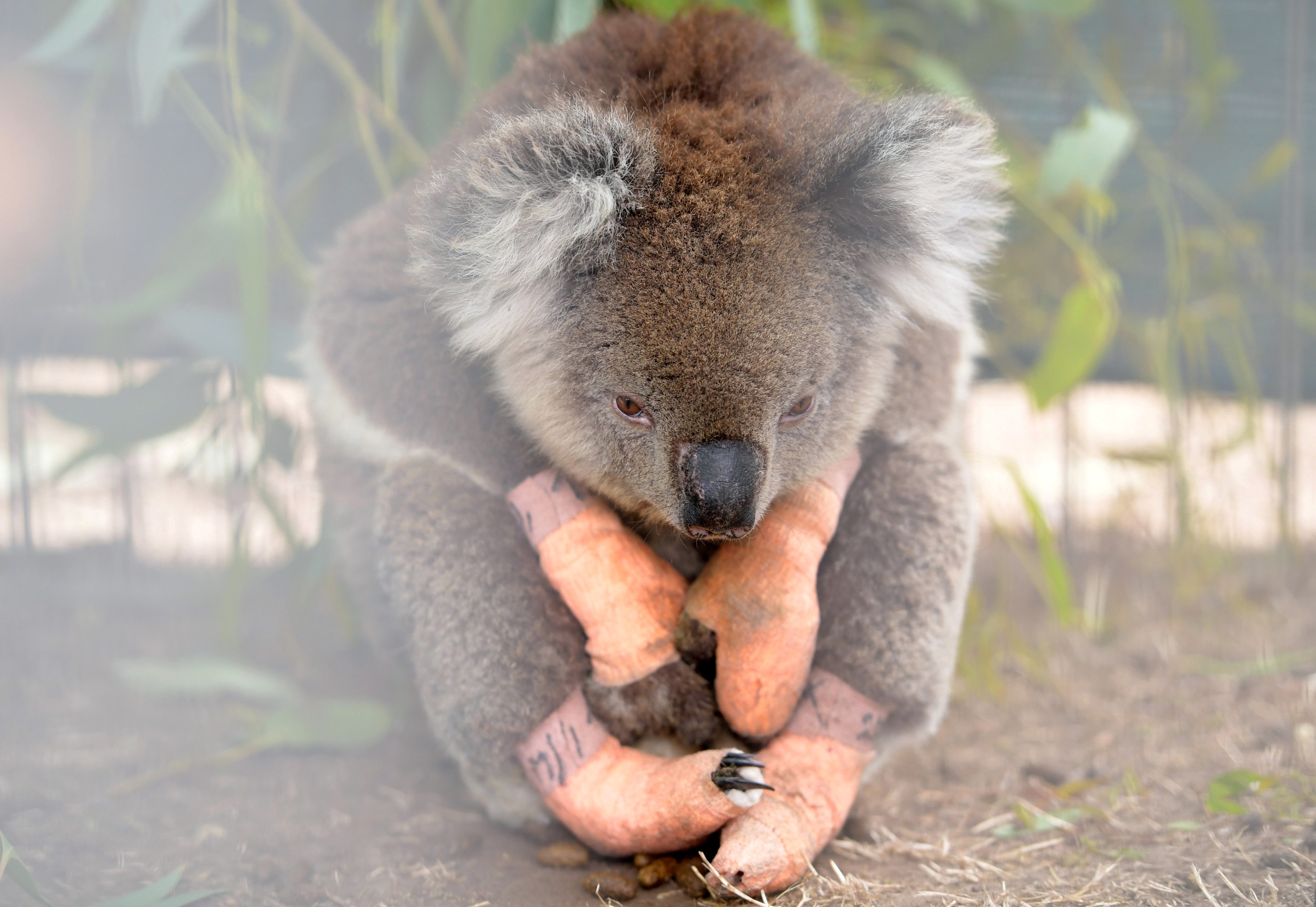 Australian Wildfires Pushed Koalas To The Brink Say Conservationists World Economic Forum