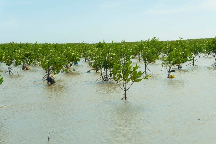 Replanting mangroves could protect tropical coastlines from flooding and storm surges, while absorbing atmospheric carbon and slowing climate change at the same time.