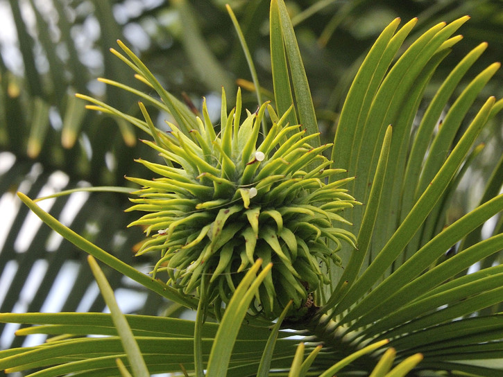 A Wollemi pine tree is one of the declining species of tress