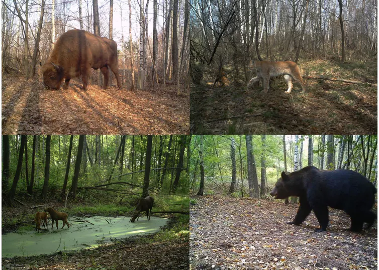 European bison (Bison bonasus), boreal lynx (Lynx lynx), moose (Alces alces) and brown bear (Ursus arctos) photographed inside Chernobyl Exclusion Zone (Ukraine).