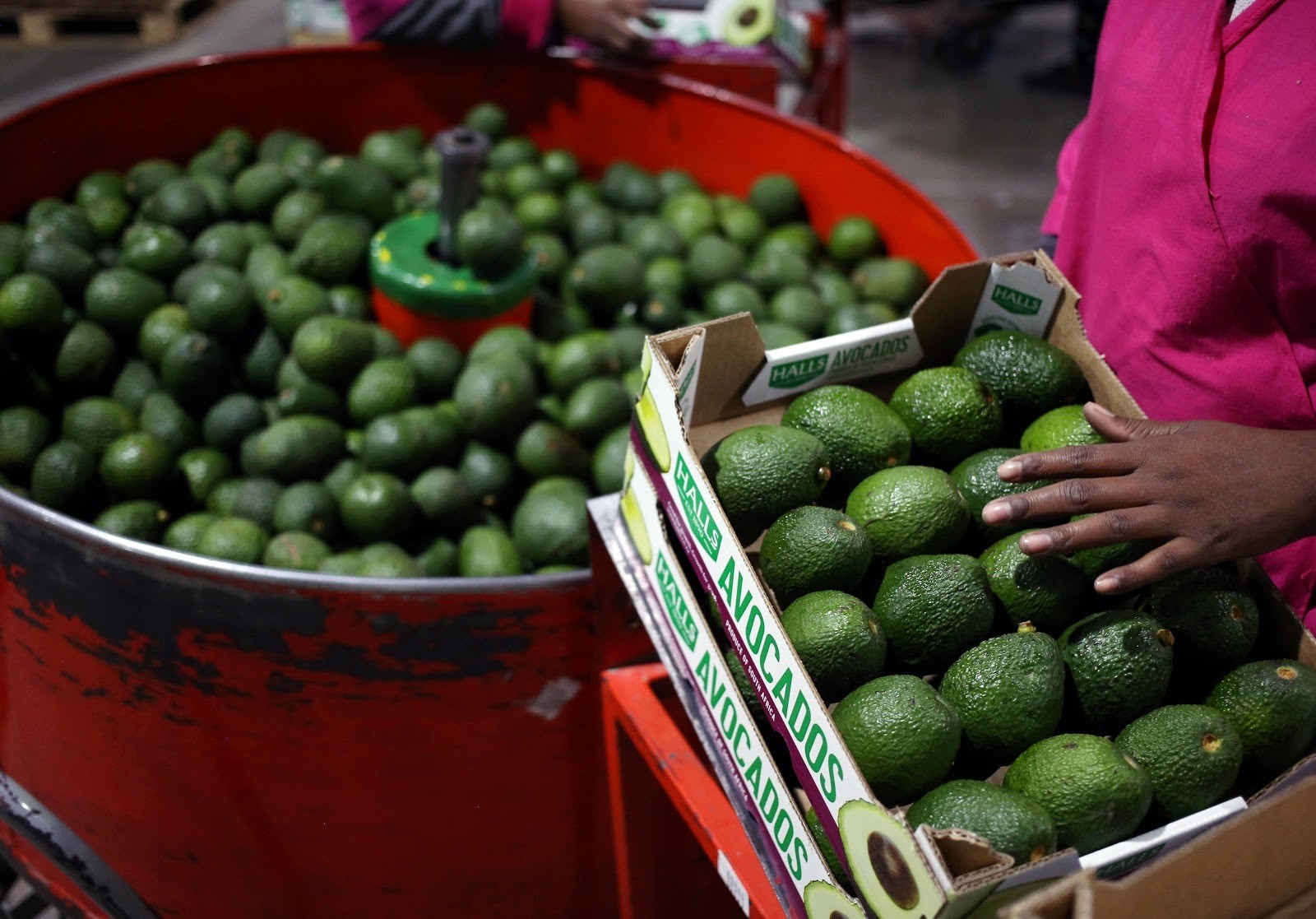 Workers sort avocados at a farm factory in Nelspruit in Mpumalanga province, about 51 miles (82 km) north of the Swaziland border, South Africa, June 14, 2018. Picture taken June 14, 2018. REUTERS/Siphiwe Sibeko - RC1635FD15B0