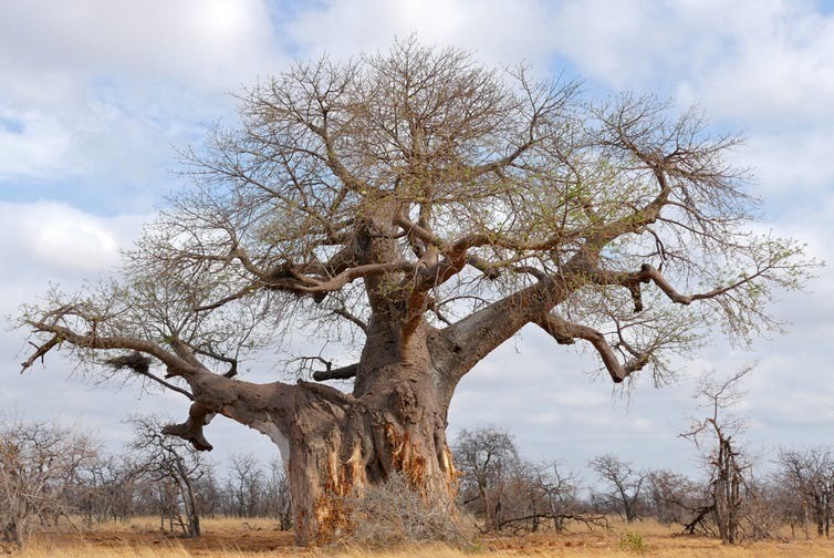 Adansonia digitata can get to 2,500-years-old.