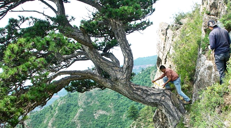 Lei Wang (left) and Jungang Dong of the Chinese Academy of Sciences in Xi'an, China, take a sample from an ancient southern Chinese pine tree on Mt. Helan in the western Loess Plateau of China.