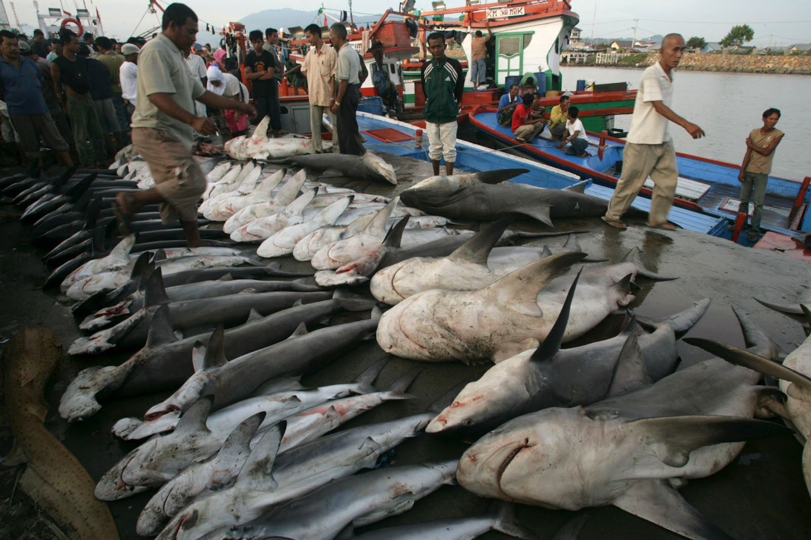 pictured are dead sharks, which are caught and sold for their meat
