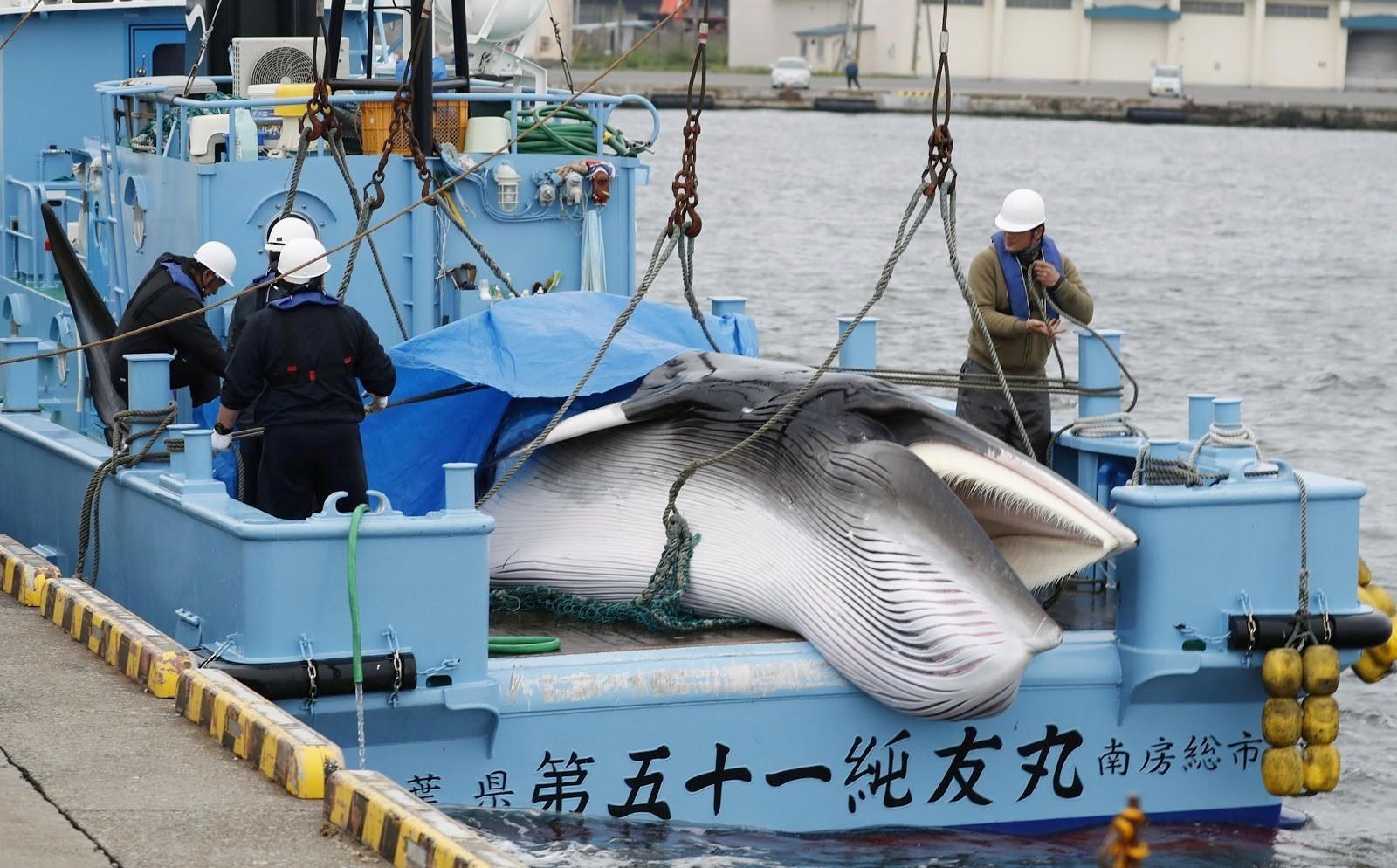 Workers prepare to unload a Minke whale in Hokkaido, Japan.