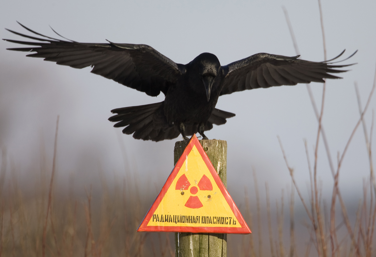 A raven stretches its wings as it sits on a post inside the 30 km (18 miles) exclusion zone around the Chernobyl nuclear reactor.