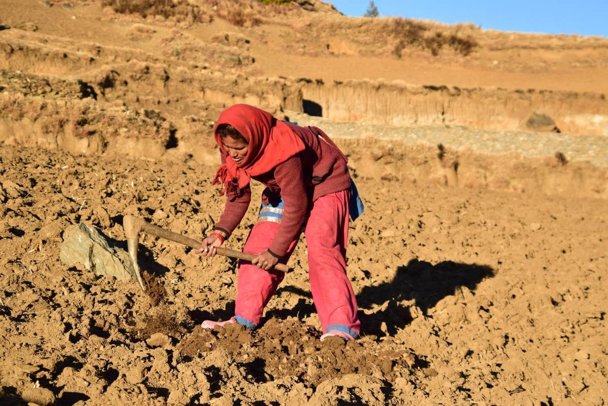 Bhadri Sarki works in her field, in Dhaulapani village, Jumla district, Nepal, February 4, 2019.