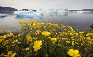 Wildflowers bloom on a hill overlooking a fjord near the south Greenland town of Narsaq